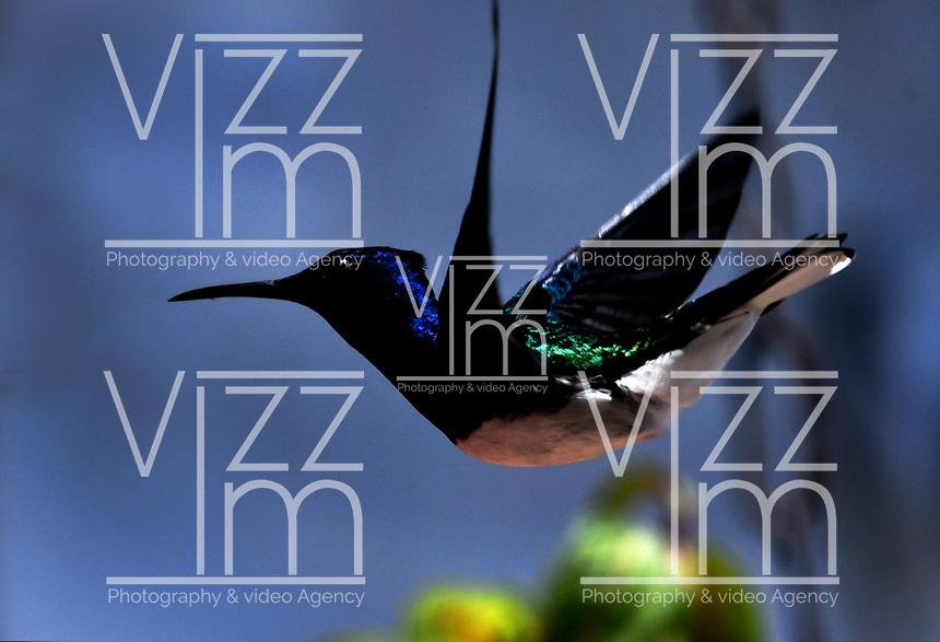 YUMBO - COLOMBIA, 19-09-2018: Colibrí Callejero (Florisuga Melivora), especie de ave presente en el Corregimiento de Dapa, municipio de Yumbo, en el Departamento del Valle del Cauca. / Colibri Callejero, White-Necked Jacobin,  Hummingbird (Florisuga Melivora), bird species present in Dapa Town, in Yumbo City in Valle del Cauca Department. Photo: VizzorImage / Luis Ramirez / Staff.