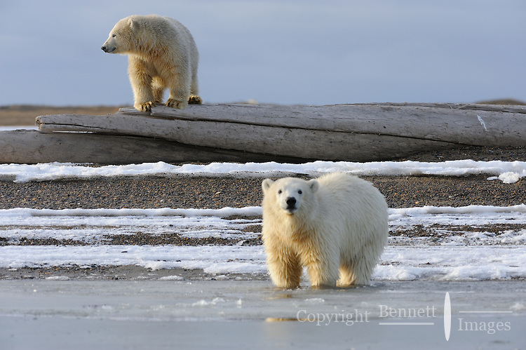 Two polar bear cubs are lit by the evening sun on a barrier island outside Kaktovik, Alaska. Every fall, polar bears gather near the community, on the northern edge of ANWR, waiting for the Arctic Ocean to freeze. The bears have become a symbol of global warming.