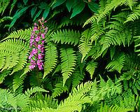 Purple Fringed Orchid<br /> Platanthera (Habenaria) psycodes<br /> Great Smoky Mountains N. P. North Carolina