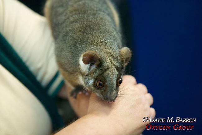 Common Ringtail Possum at Healesville Sanctuary