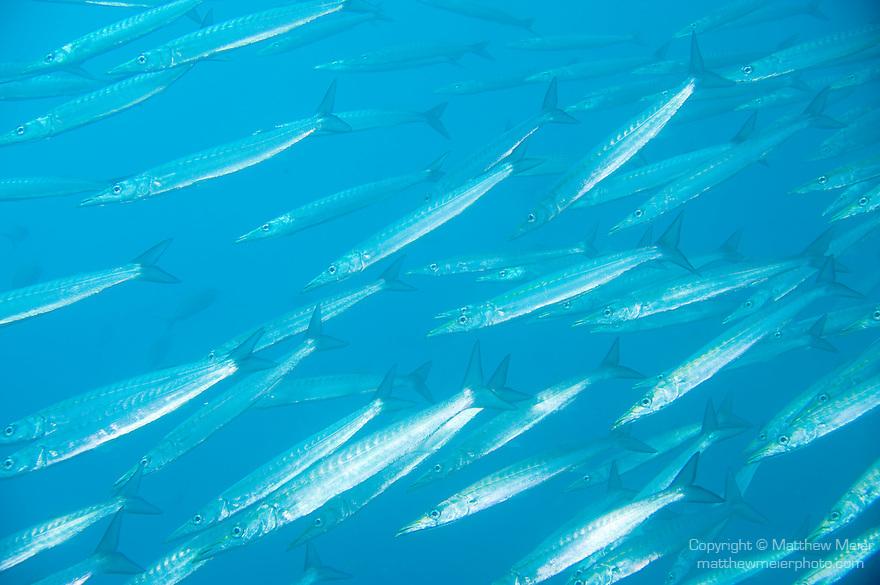 Pinzon Island, Galapagos, Ecuador; a polarized school of Pelican Barracuda (Sphyraena idiastes) fish swimming in blue water , Copyright © Matthew Meier, matthewmeierphoto.com All Rights Reserved