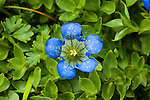 Mountain Gentian wildflower
