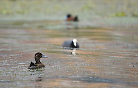 Andean Ruddy Duck, Oxyura ferruginea, swimming on San Pablo Lake, Ecuador