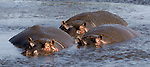 Common Hippopotamus in the Ngorongoro Crater (Hippopotamus amphibius) during the dry season. August 17, 2006.© Fitzroy Barrett