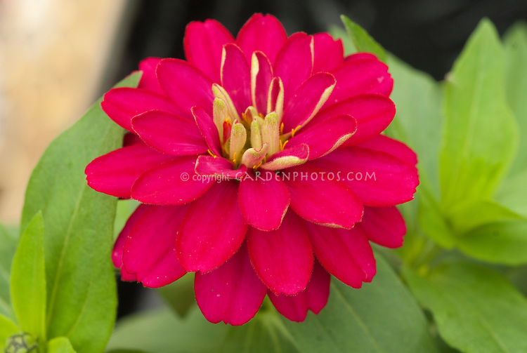Zinnia 'Zahara Double Cherry' annual summer flowers