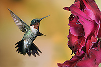 Male Ruby-throated Hummingbird, Archilochus colubris, feeding on Gladiolus flower, Louisville, KY