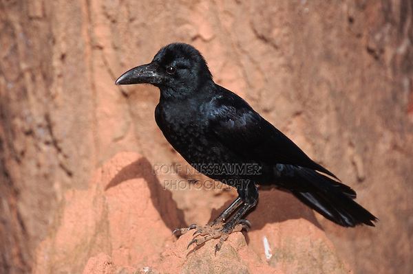 Jungle Crow (Corvus macrorhynchos), adult , Ranthambore National Park,India