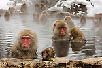 Japanese snow monkeys reside farther north than any other primate, aside from humans. In the Japanese Alps of Honshu Island, these Japanese macaques, better known as snow monkeys, display almost human social interaction. When the animals began frequenting a local hot spring, human residents decided to build a monkey-specific spring where the macaques can enjoy a daily afternoon bath and grooming. This group of monkeys is habituated to humans and felt no inhibitions about approaching us.
