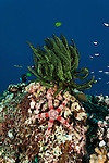 Friant's Sea Star (Nardoa frianti) and crinoid in the reef