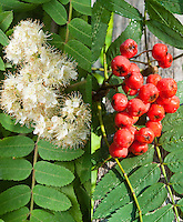 Sorbus americana in flowers and in fruit berries, mountainash tree, composite picture