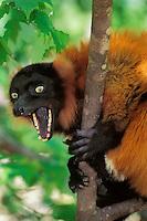 Red Ruffed Lemur (Varecia variegata ruber)