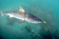 Young tiger shark, Galeocerdo cuvier, accompanied by golden trevally, Gnathanodon speciosus, Kaneohe, Oahu, Hawaii, USA, Pacific Ocean (c)