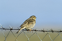 Corn Bunting Emberiza calandra L 16-18cm. Plump-bodied bunting with non-descript plumage but distinctive song. Dangles legs when flying short distances. Forms flocks in winter. Sexes are similar. Adult and juvenile have streaked brown upperparts and whitish underparts, streaked on breast and flanks, and flushed buff on breast. Bill is stout and pinkish buff. Voice Utters a tsit call. Jingling song is sung from fencepost or overhead wire. Status Local and declining bird of cereal fields, particularly barley. Has suffered terribly from modern farming practises.