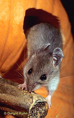 MU59-056z  White-Footed Mouse - on Jack-o-lantern -  Peromyscus leucopus