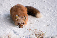 A red fox casts a curious look as it takes a break from seeking food on Alaska's north slope.