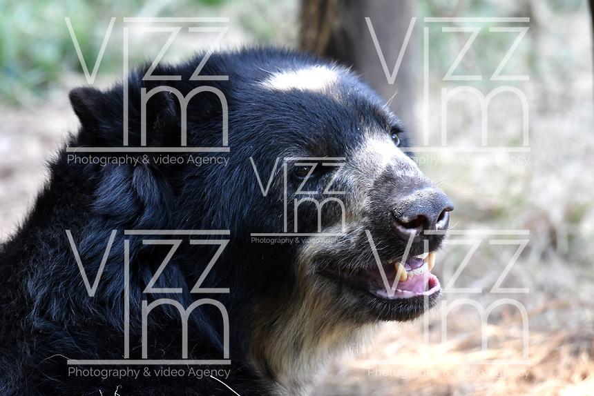 CALI - COLOMBIA - 27 - 09 - 2017: Oso de Anteojos (Tremarctos Ornatus), especie de oso en el Zoologico de Cali, en el Departamento del Valle del Cauca.  / Oso de Anteojos (Tremarctos Ornatus), bear species at the Cali Zoo, in the Department of Valle del Cauca. / Photo: VizzorImage / Luis Ramirez / Staff.