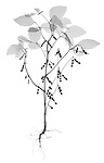 X-ray image of a soybean plant (black on white) by Jim Wehtje, specialist in x-ray art and design images.