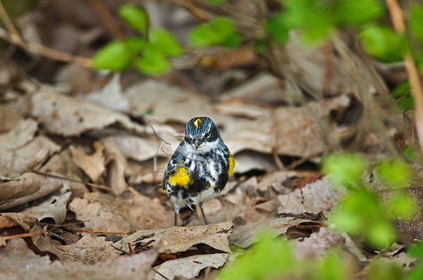 Yellow-rumped Warbler (Dendroica coronata) male hunts for insects on forest floor along Lake Erie shoreline near Canada and USA border during annual spring migration northward  to summer breeding grounds. Some 63% of all Yellow-rumped warblers nest in Canada's boreal forest..