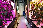 Foto: VidiPhoto<br /> <br /> BUNNIK – Sander Hogewoning van Plant Lighting in Bunnik controleert de groei van de paprikaplanten waarmee tot september een belichtsproef wordt gehouden. De paprikaplanten worden tijdens de proef belicht met diverse kleuren ledlampen. Doel is niet alleen het meten van de groeieffecten bij het kleurverschil, maar ook om een juiste kosten-batenanalyse te kunnen maken. De ene soort verlichting is duurder dan de andere en kan dus minder interessant zijn bij kleine winstmarges, ondanks mogelijk meer productie.