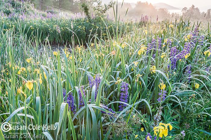 Lupines and Yellow flag iris (Iris pseudacorus) blooming in Sugar Hill, NH, USA