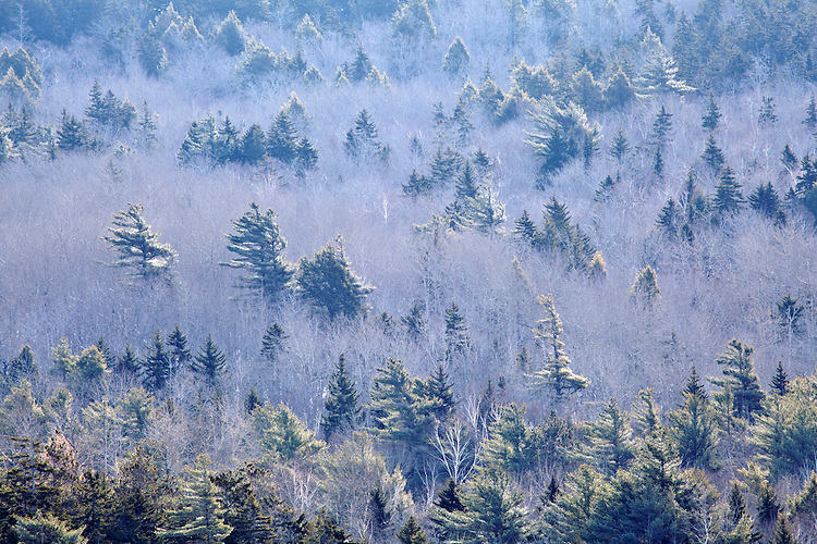 Pines intermingle with leaf-less decidious trees on the western flank of Cadillac Mountain in Acadia National Park, Maine, USA