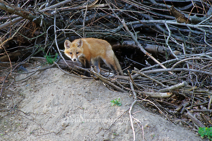 Red Fox Kit Outside Den