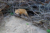 Red Fox Kit Outside Den