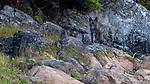 Canada, British Columbia, British Columbia wolf (Canis lupus columbianus), gray wolf subspecies