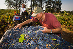 Zinfandel grape harvest at Joe Aparicio's zinfandel grape vineyard on Sutter Ridge in fall..Joe Apraicio checks the bunch quality