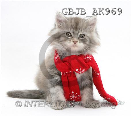 Kim, CHRISTMAS ANIMALS, photos, cat, scarf(GBJBAK969,#XA#) stickers