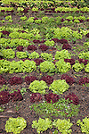 Lettuces, market garden, Babylonstoren estate, Western Cape, South Africa, February 2013