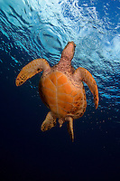 Green sea turtle [Chelonia mydas] is on it?s way to the surface for a breath of air.