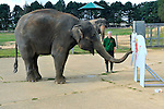 Fourteen-year-old Asian elephant Karishma  using her trunk to decorate wooden elephants with colourful splashes of paint in the run up to the weekend - which will be raising vital funds for the Zoo's worldwide elephant conservation and research projects