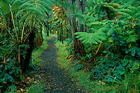Hapu'u tree ferns and ohia-lehua trees<br />