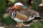 Kuranda, Queensland, Australia; Birdworld Kuranda, Mandarin Duck (Aix galericulata), breeds in eastern Siberia, China, and Japan and winters in southern China and Japan , © Matthew Meier, matthewmeierphoto.com All Rights Reserved