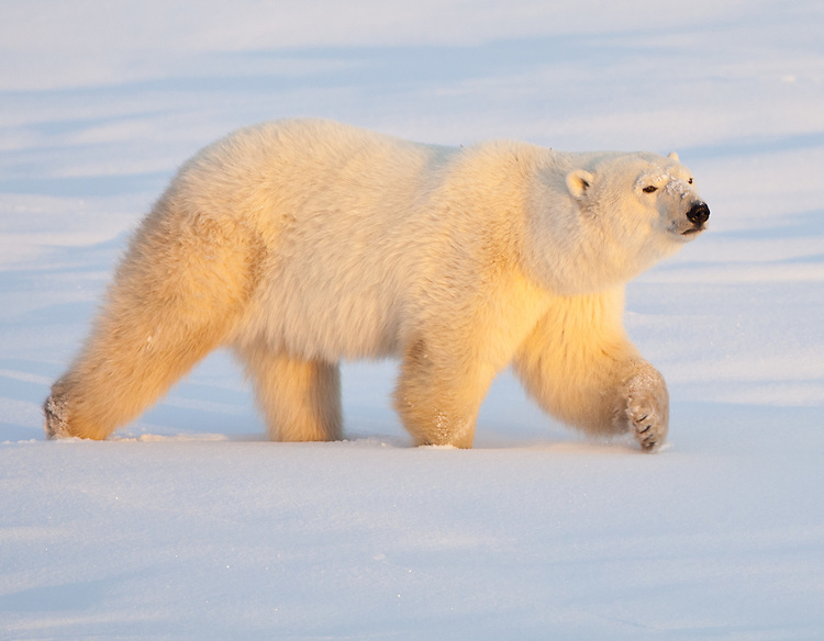 Polar Bear walking through the snow in early morning light