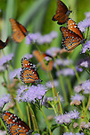 Queen butterflies in Palm Desert