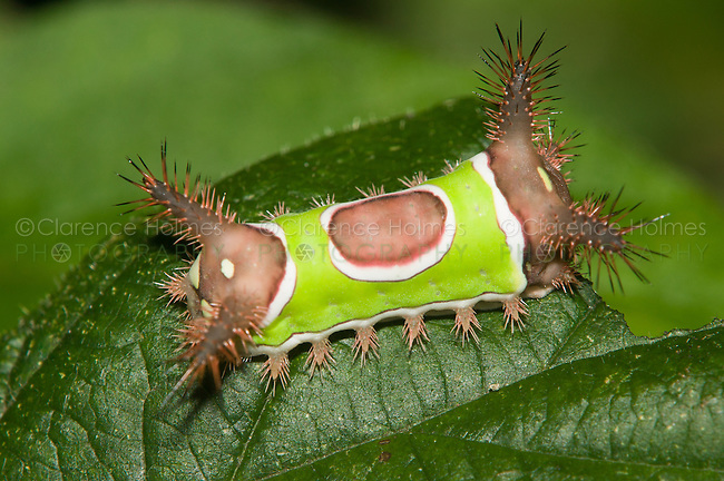 Saddleback Caterpillar (Sibine stimulea) on a partially eaten leaf, West Harrison, Westchester Couny, New York