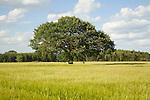 Oak tree in summer stands in cereal field, Iken, Suffolk, England