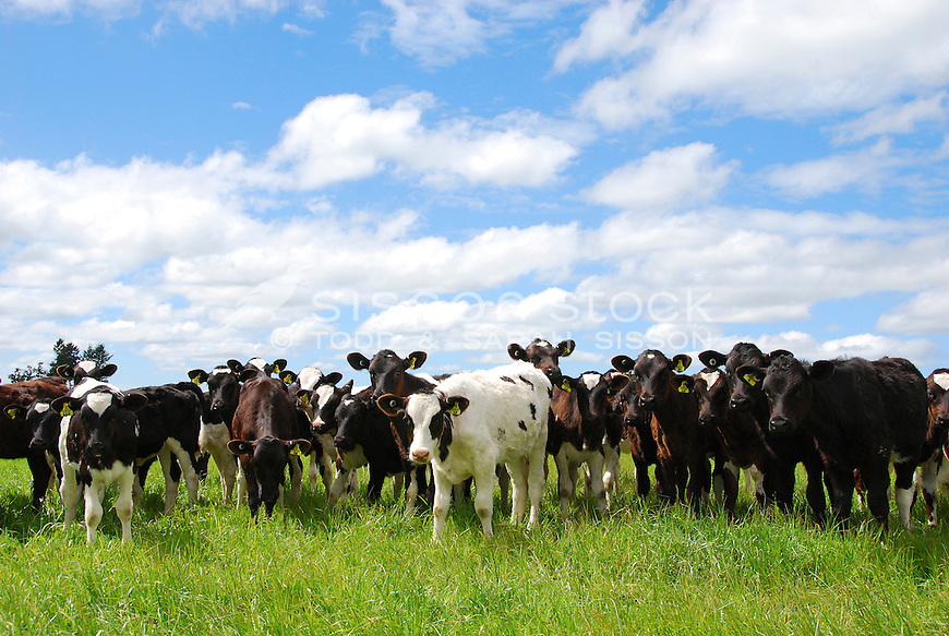 Herd of tagged young cows in a green paddock on a farm