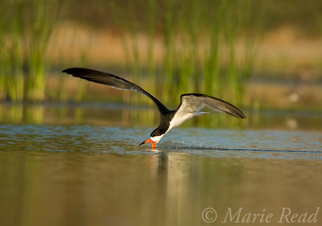 Black Skimmer (Rynchops niger) skimming, Orange County, California, USA