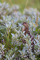Female willow ptarmigan in summer plumage int he tundra grasses in Denali National Park, Alaska