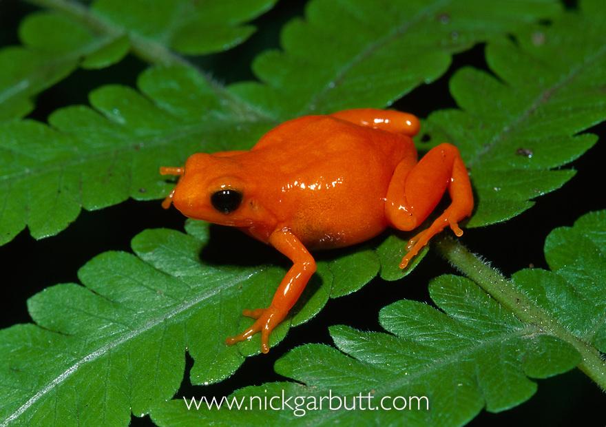 Golden Mantella Frog (Mantella aurantiaca). From swamp and humid Pandanus forest Torotorofotsy Marsh, near Andasibe, eastern Madagascar.