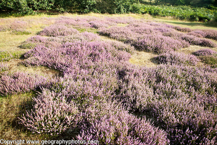 Purple flowering heather plants growing on heathland in summer, Shottisham, Suffolk, England, UK
