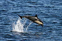 Long-beaked Common Dolphin, Delphinus capensis, leaping - note remora on the flank - in the Gulf of California, Sea of Cortez, Mexico, Pacific Ocean