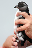 Puffin Chick In Hands Vertical