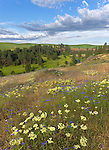 The Palouse, Whitman County, WA: Buckwheat (Eriogonum heracleoides) and bachelor's buttons (Centaurea cyanus) in an open meadow overlooking the Palouse River Valley