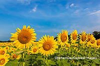 63801-07603 Sunflower field Sam Parr State Park Jasper County, IL
