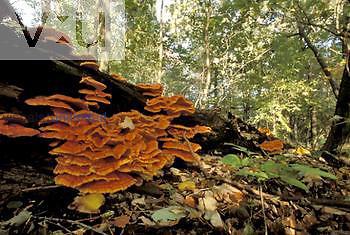 Sulfur or Chicken Mushrooms growing on a decomposing log ,Laetiporus sulphureus,, North America.