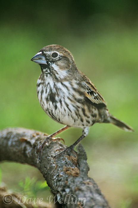 510410003-a-migrating-lark-bunting-calamospiza-melanocorys-perches-on-a-log-in-south-texas